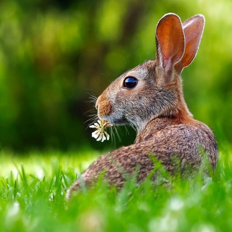 Graszoden konijn