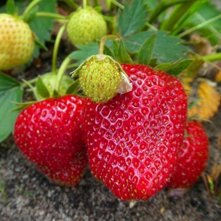 moestuin aardbeien